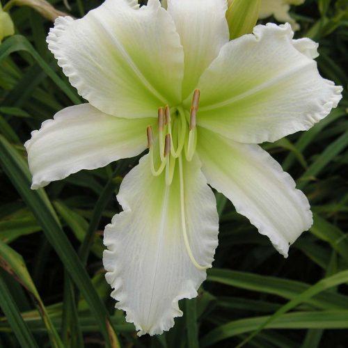 Cynthias grace daylily white